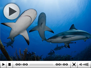 Dive with Caribbean reef sharks in Cuba - photo courtesy of Greg Lecouer