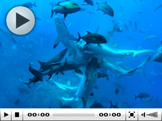 Diving with sharks at North Horn, Osprey Reef, Coral Sea, Australia - photo courtesy of Taka