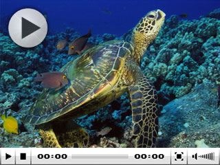 Green turtles are quite common at the Phi Phi Islands dive sites