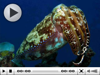 Cuttlefish can be seen at Australia dive destinations such as the Great Barrier Reef - photo courtesy of Taka