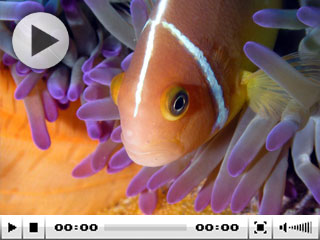 Anemonefish on the Cairns Barrier Reef - photo courtesy of Taka