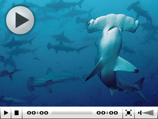 Liveaboard diving at Cocos Island with hammerhead sharks - photo courtesy of Avi Klapfer, Undersea Hunter