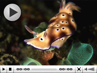 Diving in Manado: Nudibranch, Sulawesi - photo courtesy of Silent Symphony