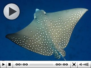 Red Sea diving with eagle rays - photo courtesy of ScubaZoo