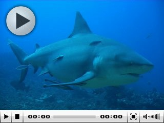 Diving with sharks in Fiji: Kinky, the bull shark, Shark Reef, Pacific Harbour - photo courtesy of Beqa Adventures