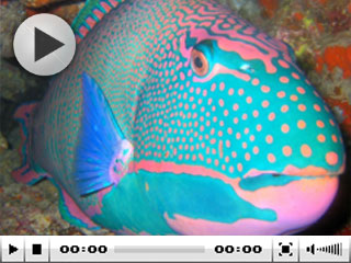 A spectacularly colourful parrotfish in Fiji - photo courtesy of Taveuni Paradise Resort