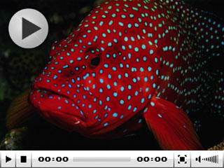 Red groupers of Thailand