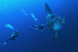 Diving in Bali with WAOW seafari at Nusa Penida for sunfish