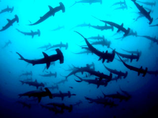 Scalloped hammerhead sharks silhoetted against the ocean's surface at Cocos Island, Costa Rica - photo courtesy of Undersea Hunter