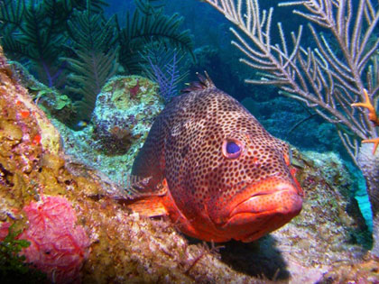 Diving in Belize - photo courtesy of Blackbird Caye Resort