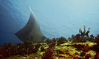 A manta ray swoops down past a watching lionfish in Burma