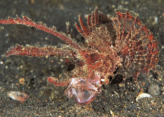 The long growths above each eye are clearly visible on this Ambon Scorpionfish - photo courtesy of Silent Symphony