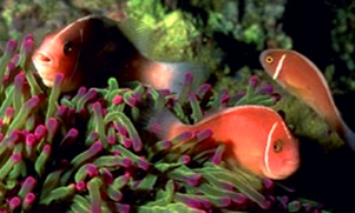 Anemonefish at Phi Phi Islands