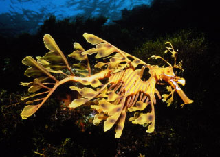 Leafy / Weedy Seadragon - South Australia scuba diving trips