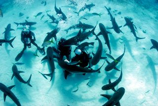 Scuba diving in the Bahamas with Caribbean reef sharks