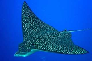 Eagle rays are common visitors to Lighthouse Reef - image courtesy of Turneffe Island Resort