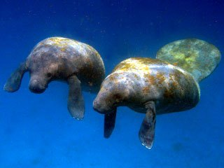 Diving with manatees at Turneffe Atoll, Belize - photo courtesy of Blackbird Caye Resort