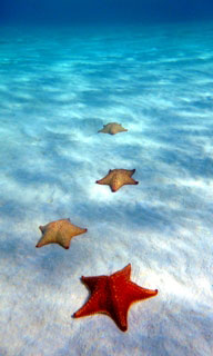 Starfish at Turneffe Atoll - photo courtesy of Blackbird Caye Resort