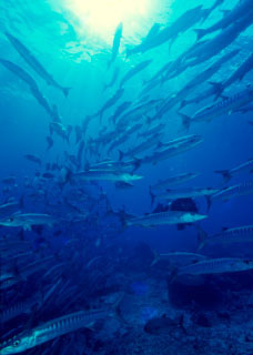 Schools of chevron barracuda are often seen by divers in Namena Marine Protected Area - photo courtesy of ScubaZoo