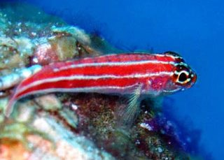 The colouful striped triplefin blenny at the Similans, Thailand - photo courtesy of Azad Osman