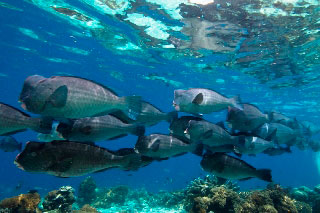 Meet humphead parrotfish the Great Barrier Reef in Australia - photo courtesy of ScubaZoo