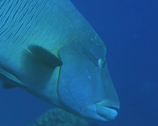 Juvenile humphead wrasse in Manado, Indonesia - photo courtesy of Silent Symphony