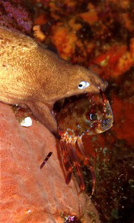 White eyed morays are common in Thailand - photo coutesy of Marcel Widmer - www.seasidepix.com
