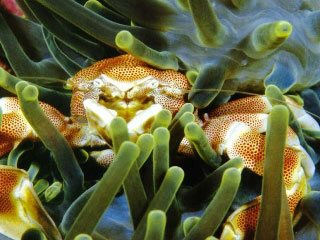 Porcelain crabs are found in anemones in the Mergui Archipelago - photo courtesy of Marcel Widmer www.Seasidepix.com