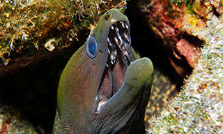 You will see many morays and many species of moray at Caño Island