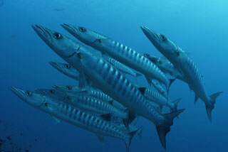 Blacktail barracudas as seen at the Ari Atoll in the Maldives - photo courtesy of ScubaZoo