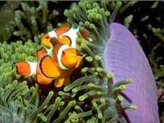 Clown fish at home in their magnificent anemone