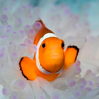 Clownfish - photo courtesy of ScubaZoo