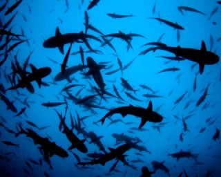 Dive at Cocos Island with hundreds of whitetip reef sharks - photo courtesy of the Undersea Hunter Group