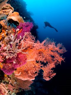 Dive in West Papua - photo courtesy of Stephen Wong and Takako Uno