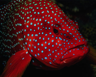 Red coral trout are common in Koh Tarutao, southern Thailand