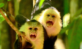 The monkeying monks of Costa Rica - capuchin monkeys
