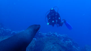 Diving with Galapagos fur seals - photo courtesy of Alana McGee