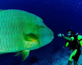 Sometimes Maori wrasse can get too close to divers - photo courtesy of ScubaZoo