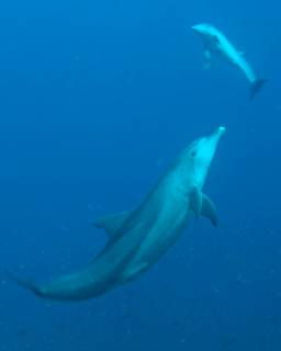Bottlenose dolphins can be seen at Gili Lawa, when diving in Komodo - photo courtesy of Ricard Buxo, Ondina
