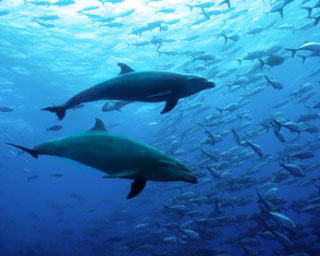 Dolphin hunting behaviour at Cocos Island - photo courtesy of Shmulik Bloom, Undersea Hunter