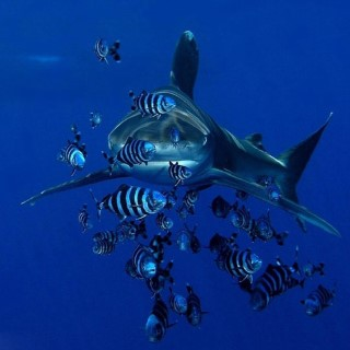 Oceanic whitetip sharks can be seen at Elphinstone