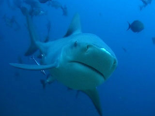Whitenose, the bull shark, Shark Reef, Viti Levu - photo - Beqa Adventures