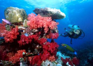 Diving in Taveuni with bommies covered in red soft corals - photo courtesy of Garden Island Resort