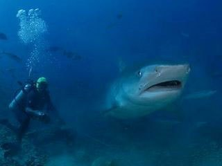 Tiger shark in Fiji - photo courtesy of Doug Perrine www.Seapics.com