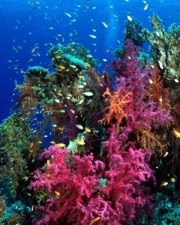 Diving in Bligh Water: Soft coral scenery - photo courtesy of the Fiji Aggressor Fleet