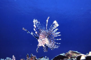 Common lionfish. Diving in Vanua Levu - photo courtesy of Mike Greenfelder