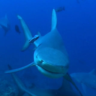 Flop the bull shark, poses for a photo opp. - photo courtesy of Beqa Adventures, Pacific Harbour