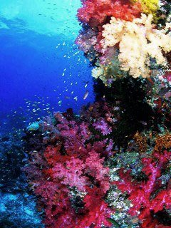 Diving at Taveuni's Rainbow Reef
