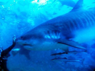 Tiger sharks are likely to be encountered, whether you like it or not, when diving at Pacific Harbour with Waidroka!