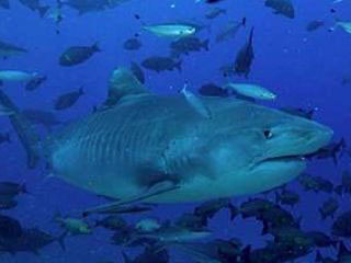 Scarface the tiger shark, surrounded by giant trevallies and fusiliers in Viti Levu - photo courtesy of Beqa Adventures